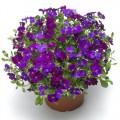 Обриета Одри F1 темно-пурпурная /100 семян/ *Syngenta*