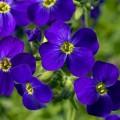 Обриета Одри F1 темно-синяя с прожилками /100 семян/ *Syngenta*