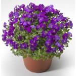 Обриета Одри F1 пурпурная с прожилками /100 семян/ *Syngenta*