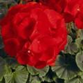 Пеларгония зональная БуллзАй F1 скарлет /100 семян/ *Syngenta*