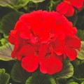 Пеларгония зональная БуллзАй F1 красная /100 семян/ *Syngenta*