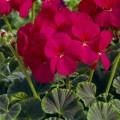 Пеларгония зональная БуллзАй F1 чери /100 семян/ *Syngenta*