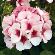 Пеларгония зональная Маверик F1 белая с розовым глазком /100 семян/ *Syngenta*