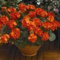 Пеларгония зональная Маверик F1 оранжевая /100 семян/ *Syngenta*