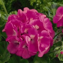 Пеларгония зональная Маверик F1 розовая /100 семян/ *Syngenta*