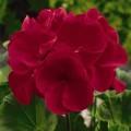 Пеларгония зональная Маверик F1 красная /100 семян/ *Syngenta*