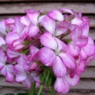 Пеларгония Мультиблум F1 бело-фиолетовая /100 семян/ *Syngenta*