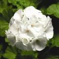 Пеларгония зональная Пинто F1 белая /100 семян/ *Syngenta*