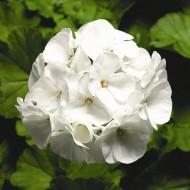 Пеларгония Пинто F1 белая /100 семян/ *Syngenta*