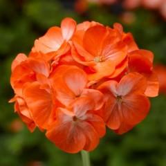 Пеларгония зональная Пинто F1 оранжевый биколор /100 семян/ *Syngenta*