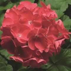 Пеларгония зональная Пинто F1 темно-розовая /100 семян/ *Syngenta*