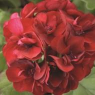 Пеларгония Пинто F1 темно-красная /100 семян/ *Syngenta*