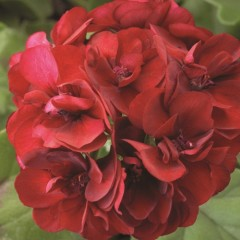 Пеларгония зональная Пинто F1 темно-красная /100 семян/ *Syngenta*
