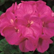 Пеларгония зональная Пинто F1 фиолетовая /100 семян/ *Syngenta*
