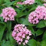 Пентас ланцетный Нью Лук F1 розовый /100 семян/ *Benary*