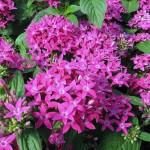 Пентас Нью Лук F1 фиолетовый /100 семян/ *Benary*