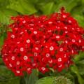 Пентас ланцетный Нью Лук F1 красный /100 семян/ *Benary*