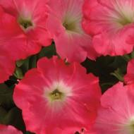 Петуния ампельная Изи Вэйв F1 розовый рассвет /100 семян/ *Pan American*