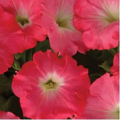 Петуния Изи Вэйв F1 розовый рассвет /50 семян/ *Pan American*