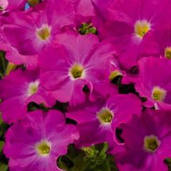 Петуния ампельная Аладдин F1 неоново-розовая /1.000 семян/ *Benary*
