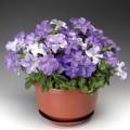Петуния карликовая грандифлора Браво F1 небесно-синяя /1.000 семян/ *Syngenta*