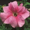 Петуния карликовая грандифлора Браво F1 розовая с прожилками /1.000 семян/ *Syngenta*