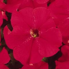 Петуния карликовая грандифлора Дримс красная /1.000 семян/ *Pan American*