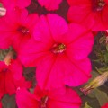 Петуния Суперкаскад F1 розовая /1.000 семян/ *Pan American*