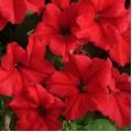 Петуния грандифлора Суперкаскад F1 красная /1.000 семян/ *Pan American*