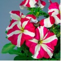 Петуния грандифлора Танго F1 розовая звезда /1.000 семян/ *Hem Genetics*