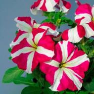 Петуния Танго F1 розовая звезда /1.000 семян/ *Hem Genetics*