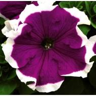 Петуния грандифлора Фрост F1 фиолетовая /1.000 семян/ *Syngenta*