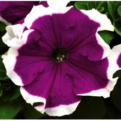 Петуния Фрост F1 фиолетовая /1.000 семян/ *Syngenta*