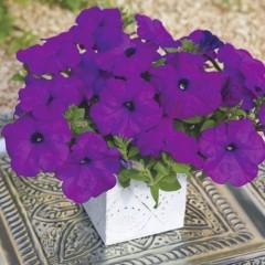 Петуния грандифлора Рамблин F1 фиолетовая /100 семян/ *Syngenta*