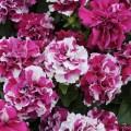 Петуния махрова мультифлора Дуо F1 розово-белая /200 семян/ *Pan American*