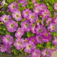 Петуния Пикобелла Каскад F1 розовое сияние /100 семян/ *Syngenta*