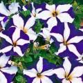 Петуния Ламбада F1 синяя звезда /1.000 семян/ *Hem Genetics*