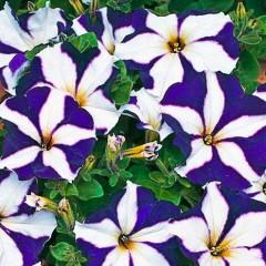 Петуния махрова мультифлора Ламбада F1 синяя звезда /1.000 семян/ *Hem Genetics*