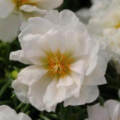 Портулак махровый Хеппи Ауер белый /200 семян/ *Pan American*
