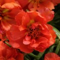 Портулак Хеппи Ауер оранжевый /200 семян/ *Pan American*