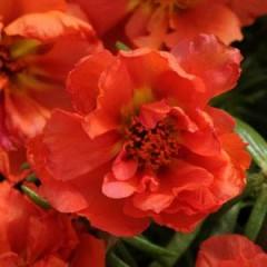 Портулак махровый Хеппи Ауер оранжевый /200 семян/ *Pan American*