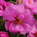 Портулак Хеппи Ауер розовый /200 семян/ *Pan American*