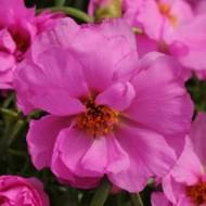 Портулак махровый Хеппи Ауер розовый /200 семян/ *Pan American*