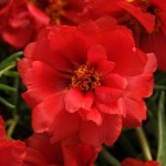 Портулак махровый Хеппи Ауер темно-красный /200 семян/ *Pan American*