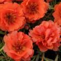 Портулак каскадный махровый Хеппи Траилс оранжевый /200 семян/ *Pan American*