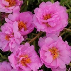 Портулак каскадный махровый Хеппи Траилс розовый /200 семян/ *Pan American*