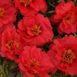 Портулак каскадный махровый Хеппи Траилс темно-красный /200 семян/ *Pan American*
