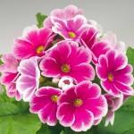 Примула обконика Либре F1 розовое пикотэ /100 семян/ *Syngenta*