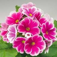 Примула Либре F1 розовое пикотэ /100 семян/ *Syngenta*