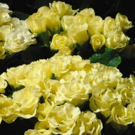 Примула обконика Примлет F1 лимонная /100 семян/ *Pan American*